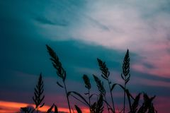 tall grass silhouette. Grass Silhouette In Sunset Royalty Free Stock Image Tall