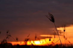 Grass silhouette at sunset. Some grass silhouette at sunset Royalty Free Stock Image