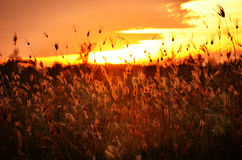 Grass silhouette at sunset. Some grass silhouette at sunset Stock Images
