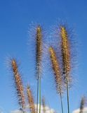 Grass silhouetted against the blue sky. Royalty Free Stock Images