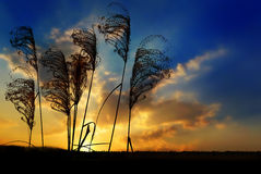 Grass silhouettes and sunset Royalty Free Stock Photo