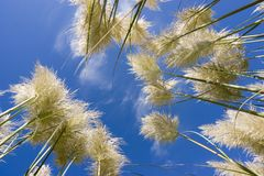 Grass and sky. Tall grass and sky viewed from the ground Stock Photos
