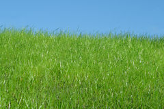 Grass and sky. Green uncut grass and blue sky Stock Photography