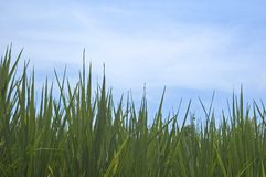 Grass and Sky. Green grass and blue sky Stock Images