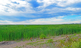 Grass and sky background Royalty Free Stock Photo