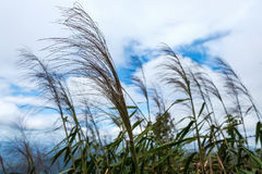 The grass on the sky. The grass blown by the wind on a blue sky Stock Photography