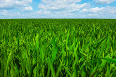 Grass with sky Royalty Free Stock Images