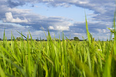 Grass, sky and trees. Green grass with the clouds and blue sky in the background Stock Photos