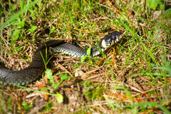 Grass snake 01 Stock Photography