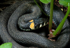 Grass-snake Stock Photography