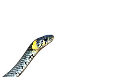 Grass-snake Royalty Free Stock Images