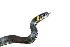 Grass-snake Royalty Free Stock Image