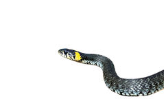 Grass-snake stock photo