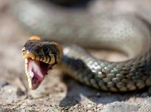 The grass snake. A european non-venomous snake Stock Image