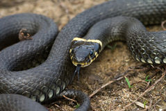 The grass-snake royalty free stock photography