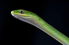 Grass snake Stock Photos