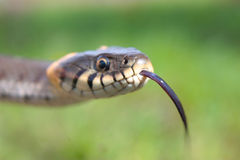 Grass snake. (natrix) is a genus of colubrid snakes Stock Photo