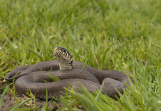 Grass snake. A grass snake (Natrix natrix) near the stream bank in relaxed posture Stock Image