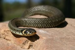 Grass-snake Stock Images