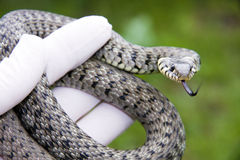 Grass snake. (Natrix natrix) in hand royalty free stock photos