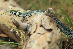 Grass snake Stock Image