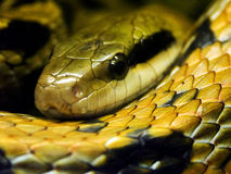 Grass-snake Royalty Free Stock Photography