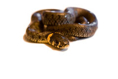 Grass Snake. Face forward in a defense position, the snake is a grass snake natrix natrix on latin Stock Photo