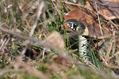 Grass-snake. Hidden in the grass and leaves Stock Photos