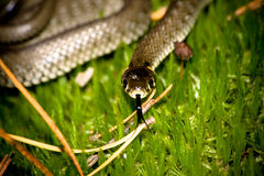 Grass Snake. In wood against a moss in a dwelling habitat Stock Images