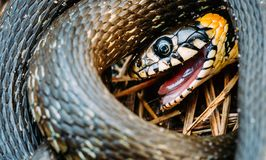 Grass-Snake, Adder In Early Spring Royalty Free Stock Photo