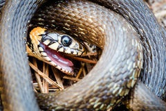 Grass-snake, adder in early spring Royalty Free Stock Photos