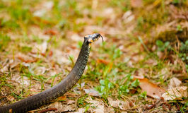 Grass-snake, adder in early spring Royalty Free Stock Image