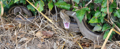 Grass-snake before attack. Grass-snake on the ground just before an attack Stock Photo