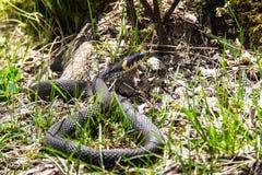 Grass Snake Basking in natural habitat Royalty Free Stock Photo