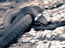 Grass-snake close-up toned Stock Image