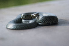 Grass snake. Close up snake with yellow spots on head Stock Images