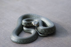 Grass snake. Close up snake with yellow spots on head Stock Photos