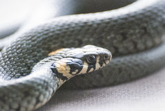 Grass snake. Close up snake with yellow spots on head Royalty Free Stock Photos