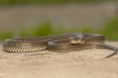 Grass snake Royalty Free Stock Image