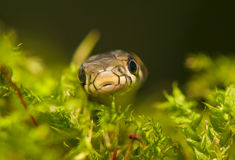 Grass snake Royalty Free Stock Photography