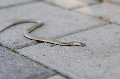 Grass snake crawling on a brick tile. Non-poisonous snake. the Grass snake. Grass snake crawling on a brick tile. Non-poisonous snake. Frightened by the Grass Royalty Free Stock Image