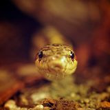 Grass snake (Elaphe Dione) watching from the shelter Royalty Free Stock Photos