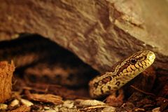 Grass snake (Elaphe Dione) watching from the shelter Stock Images