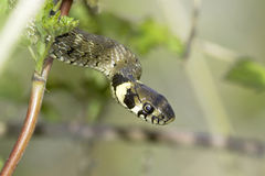 Grass snake in forest background / Natrix natrix Royalty Free Stock Photography