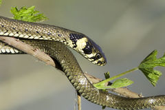 Grass snake in forest background / Natrix natrix Stock Photo