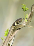 Grass snake / Natrix natrix Stock Photos
