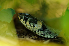 Grass Snake on the Forest Soil Royalty Free Stock Image
