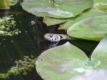 Grass snake in garden pond Stock Photography
