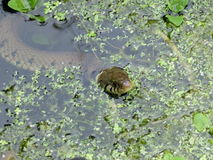 Grass snake in garden pond. Grass snake swimming in garden pond royalty free stock images