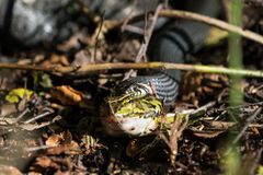 Grass snake with green frog. Front view of european grass snake that has caught and is eating a green frog with focus on the snake Royalty Free Stock Images